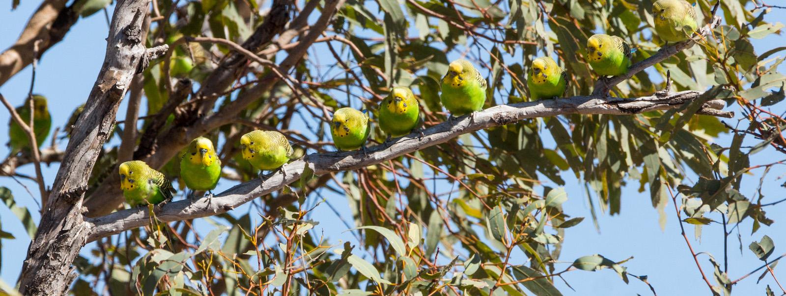 Budgerigar (Melopsittacus undulatus), Sturt National Park, NSW, Australia (Photo: David Cook/Flickr)