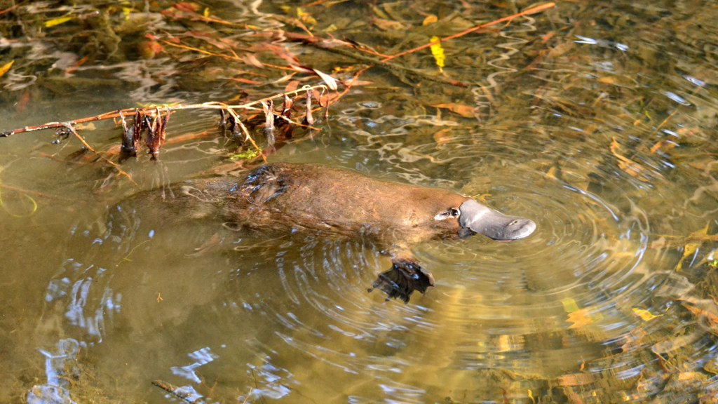 Seen any grubs? This platypus is on the hunt (Photo: Klaus/Flickr)