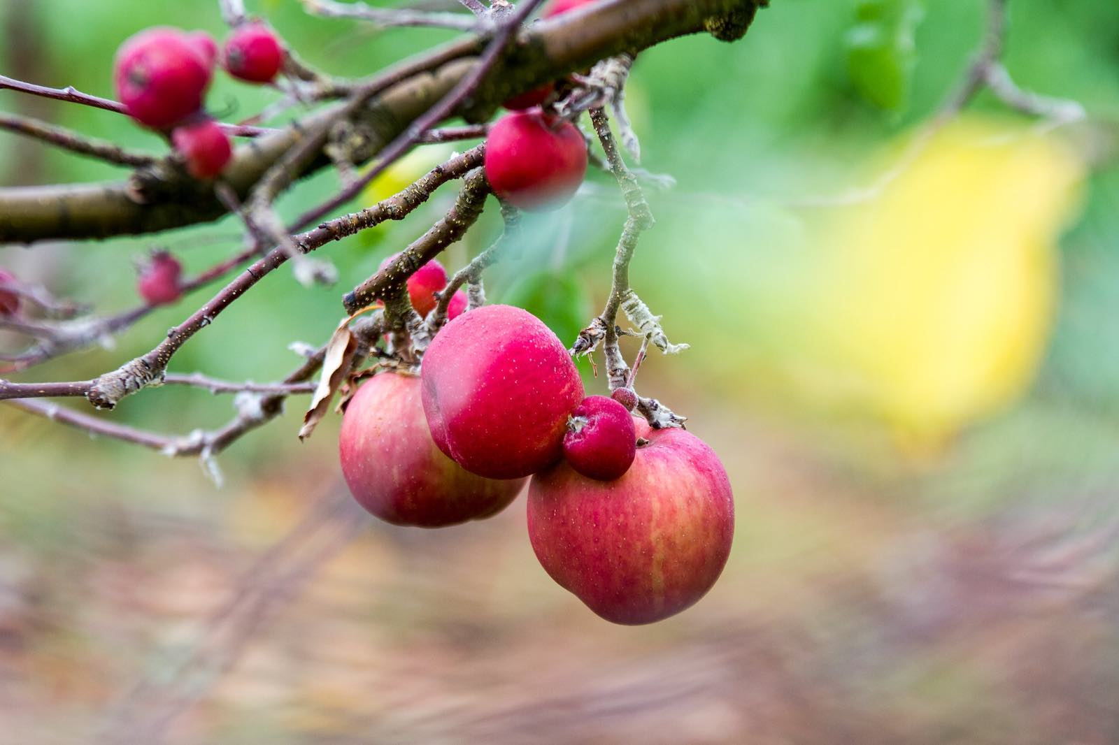 Apples in the Huon valley, Tasmania, where fruit picking would change Maria's life (Photo: TassieEye/Flickr)