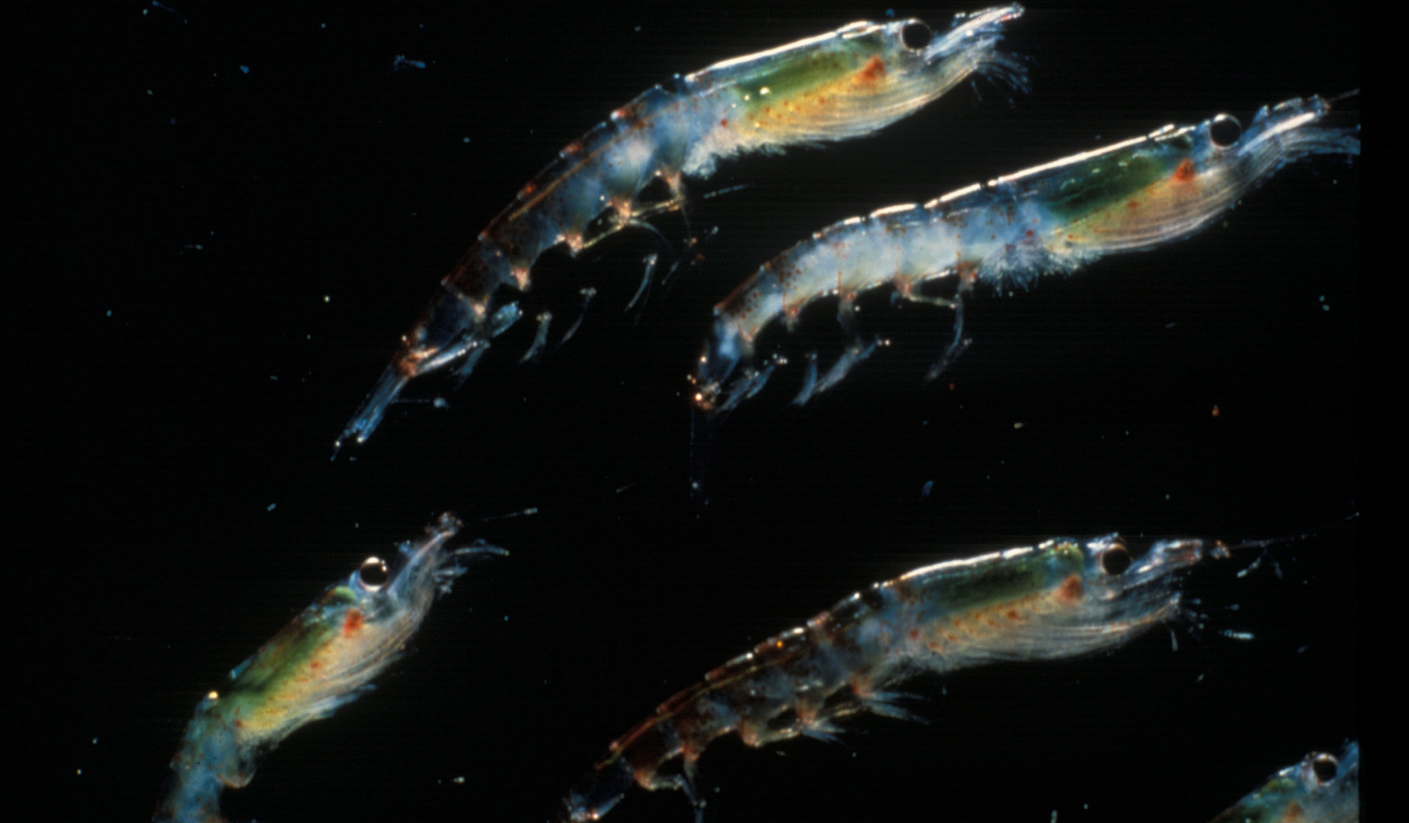 Euphausia superba, or the Antarctic krill (Photo: US National Oceanic and Atmospheric Administration/Flickr)