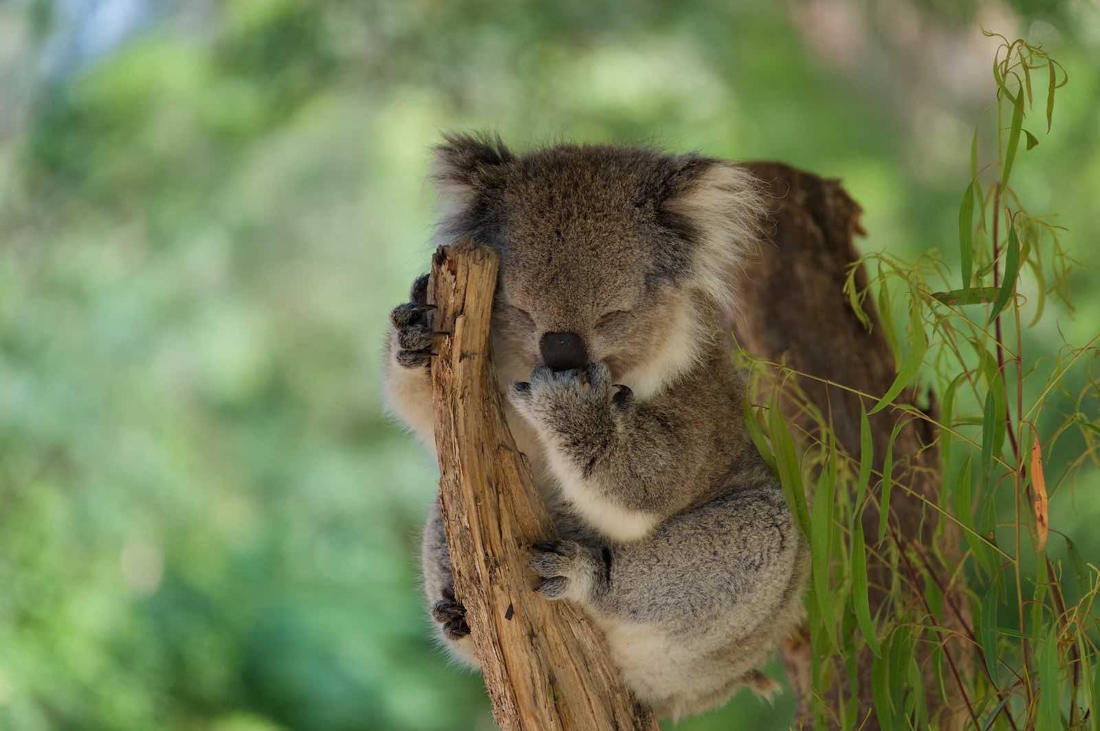 Koala – Phascolarctos cinereus (Marcus Hansson/Flickr)