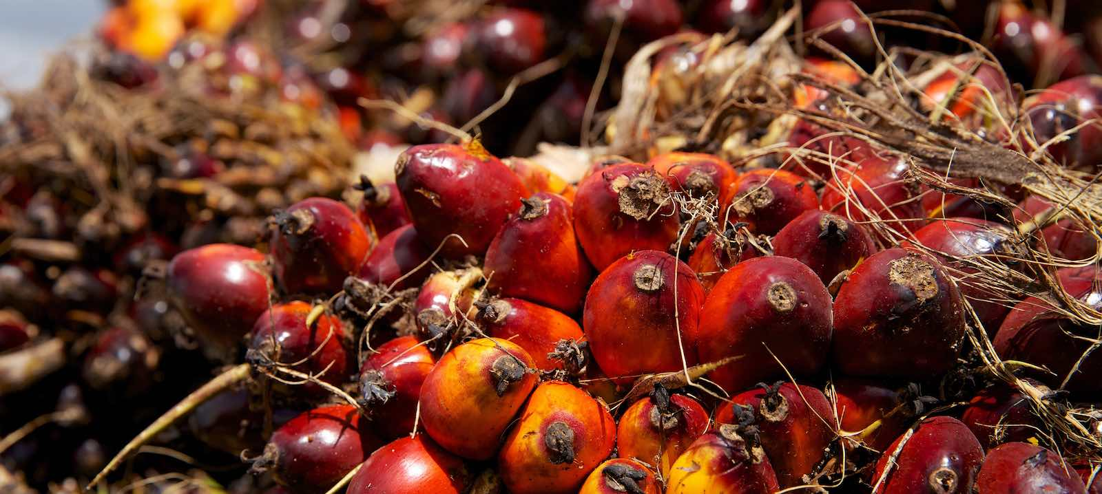 Palm oil fruits after harvest (Photo: Nanang Sujana/CIFOR)