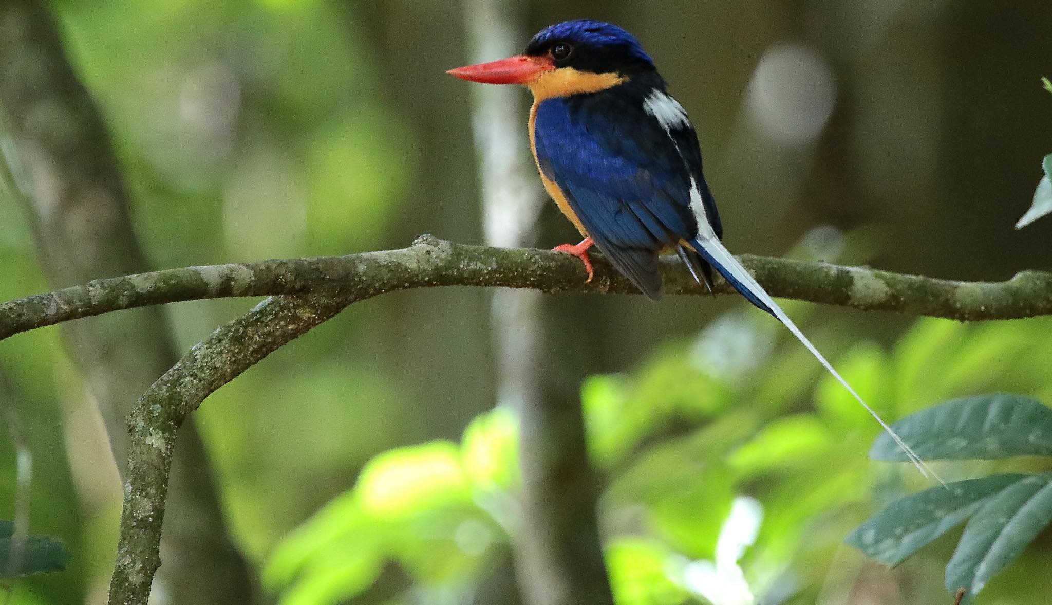 The Buff-breasted Paradise-Kingfisher migrates each year between PNG and northern Australia (Photo: Graham Winterflood/Flickr)