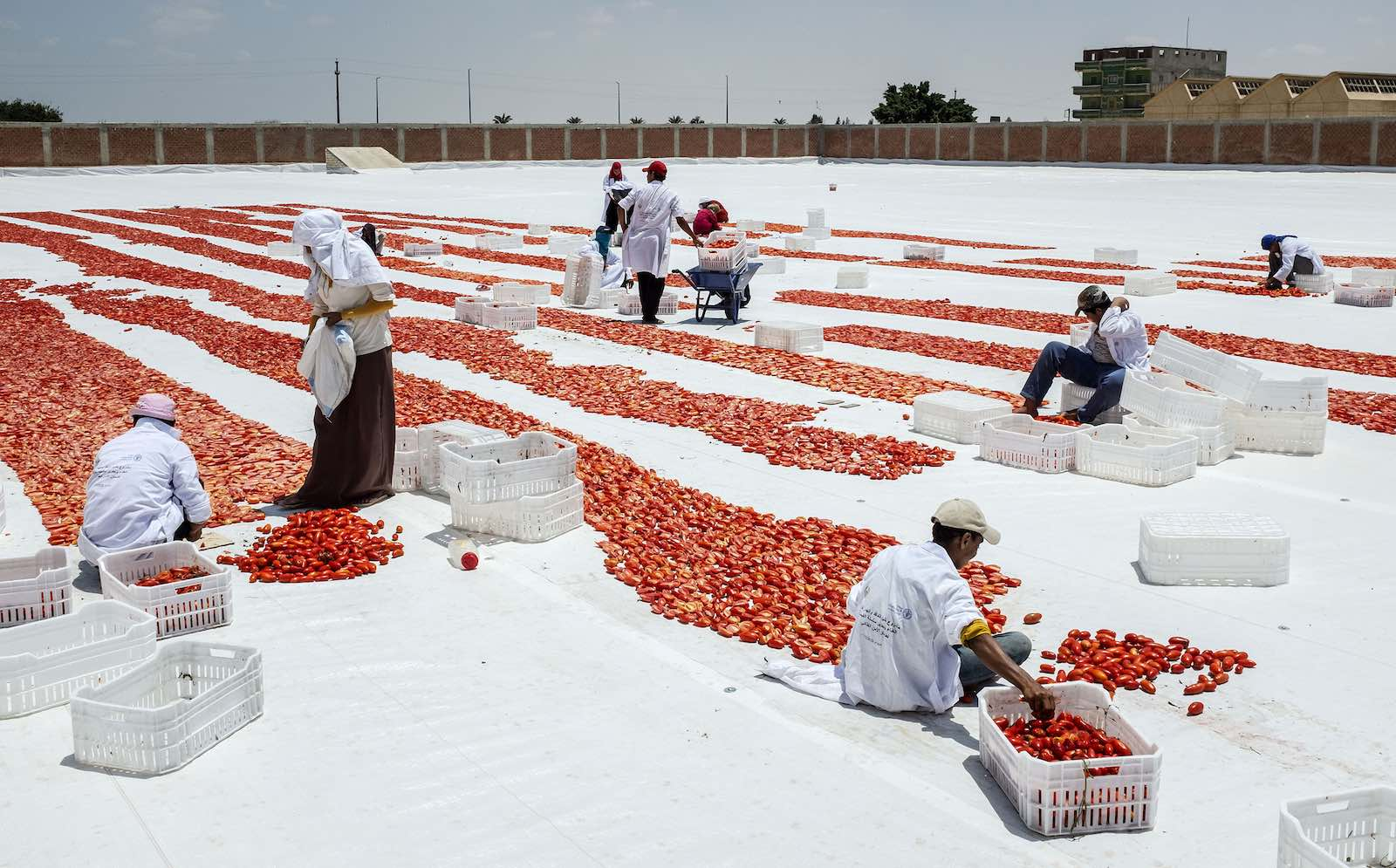 Slicing tomatoes for sun drying in Bangar el Sokor, Nubaria, Egypt (Photo: Heba Khamis/FAO)