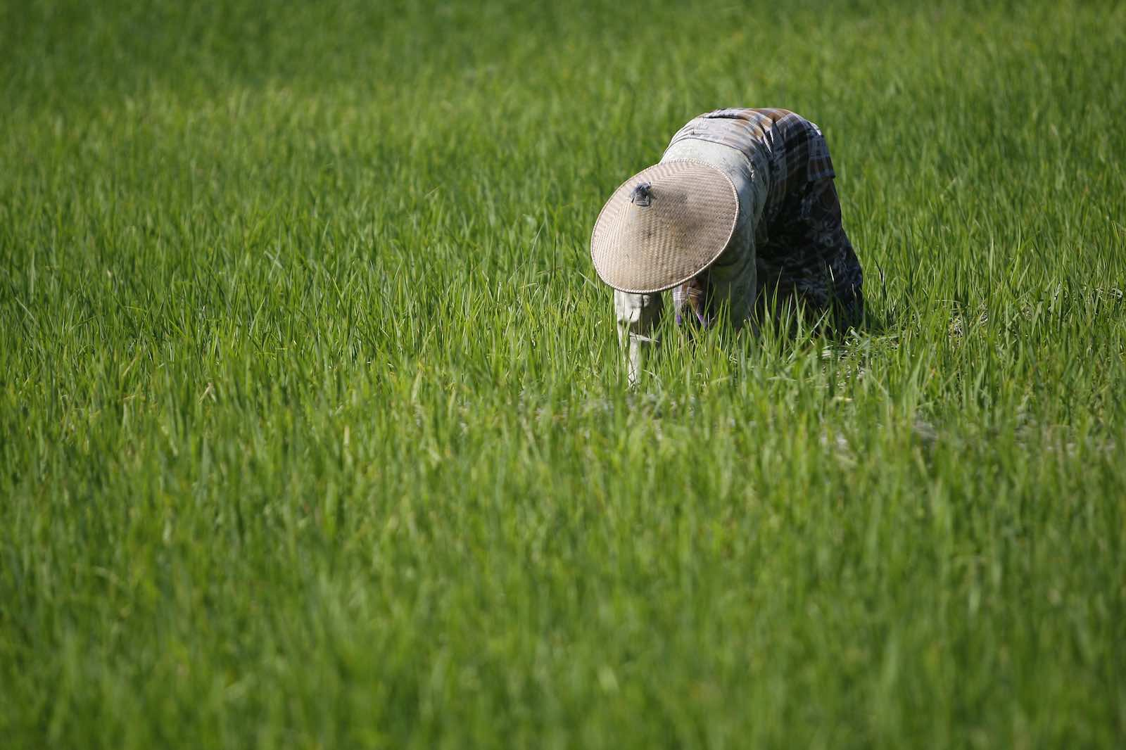 A woman harvests rice in Oecussi, Timor-Leste (Photo: United Nations Photo/Flickr)
