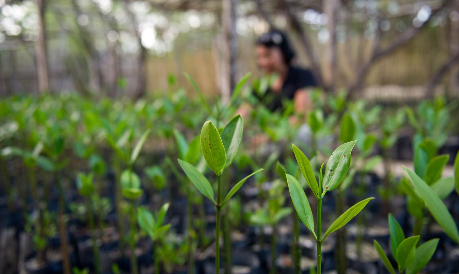 Mangrove seedlings in the Philippines to help hold back the tide (Photo: ADB/Flickr)