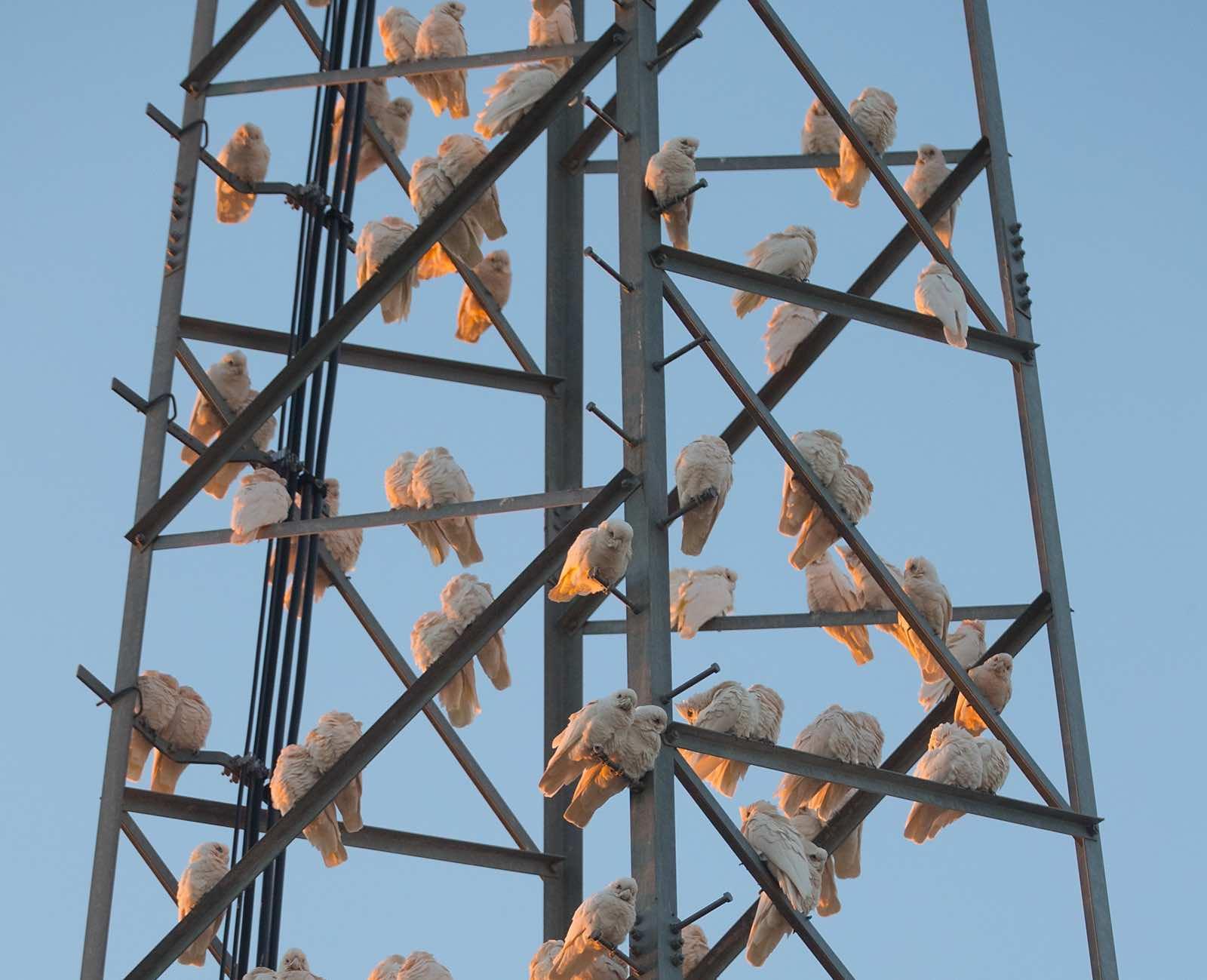 Corellas gather on a telephone tower at dawn in Louth, NSW, Australia (Photo: Mark Evans/Getty Images)