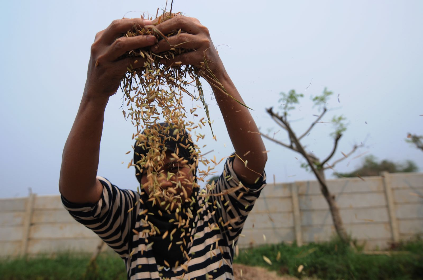 Harvesting rice in Tangerang, Indonesia, where rice is still imported (Photo: Riau Images via Getty)