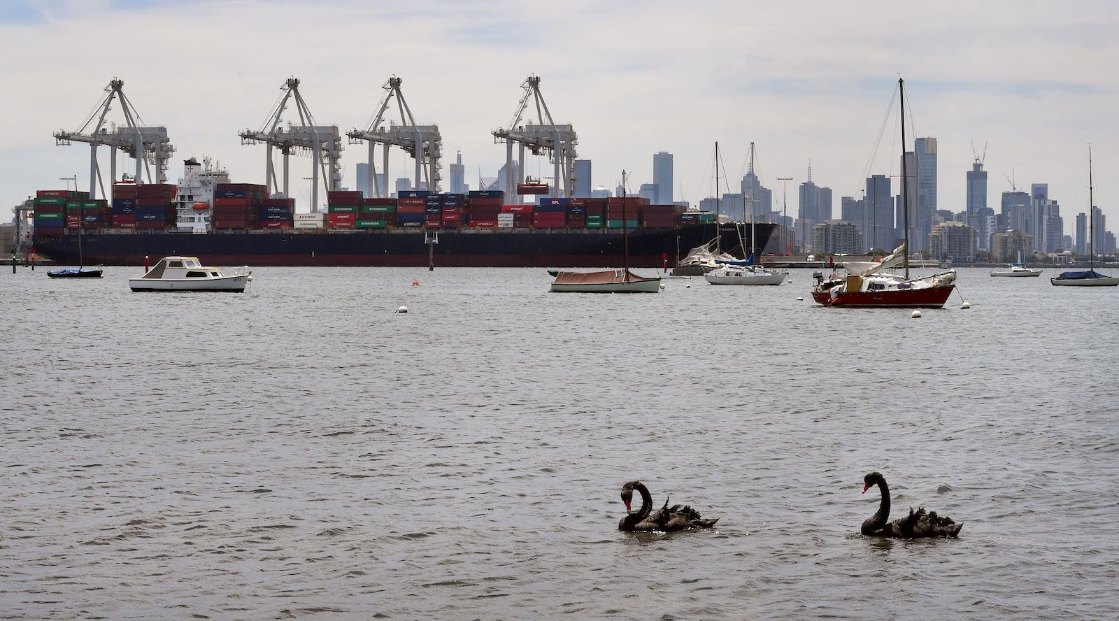 Black swans in Melbourne, but watch instead for grey rhinos (Photo: William West via Getty)