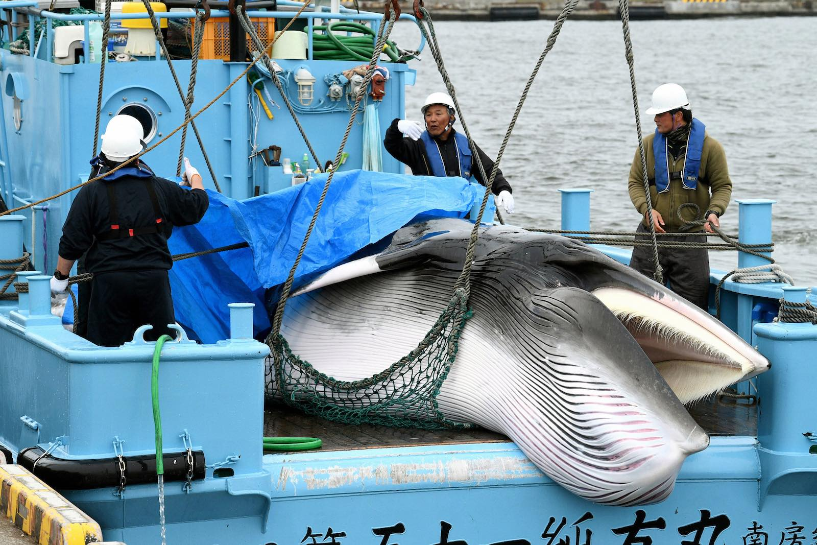 A minke whale is unloaded at Kushiro Port on the first day of the commercial whale hunt, 1 July 2019, in Kushiro, Hokkaido, Japan (Photo: The Asahi Shimbun via Getty)