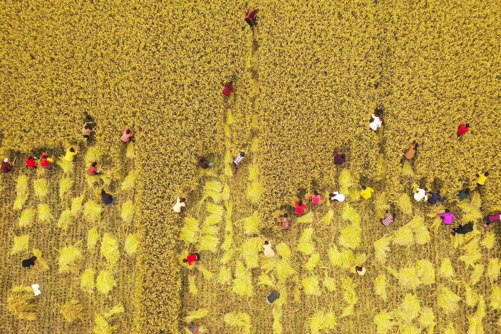 A rice harvest competition on 26 October in Sihong county, Jiangsu province, China (Photo: STR/AFP/Getty Images)