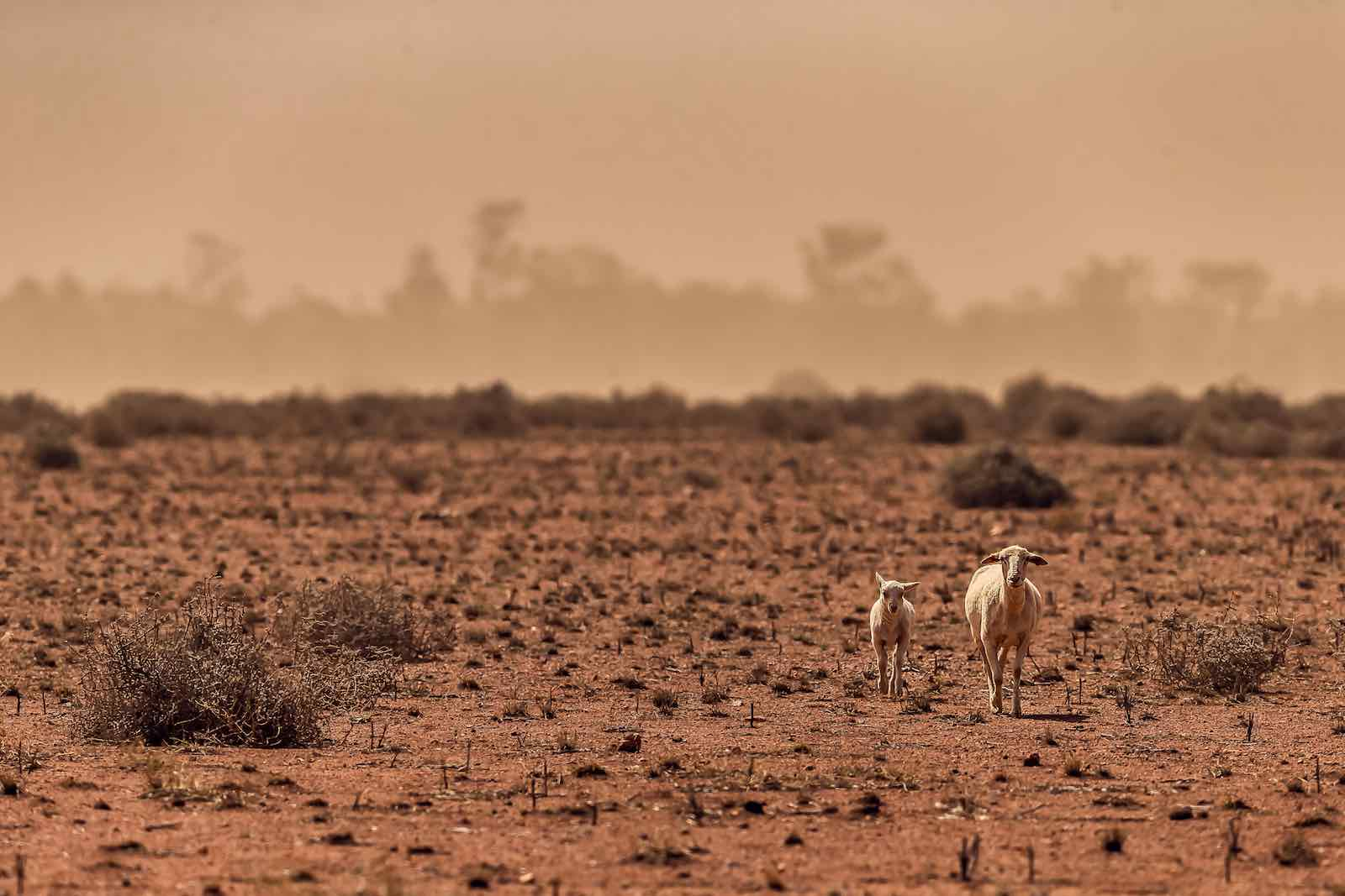 A dust storm on a drought-stricken Australian sheep paddock (Klae Mcguinness/Getty Images)