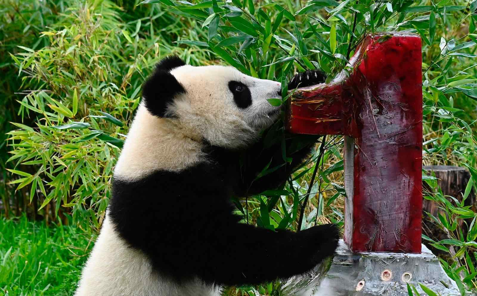 A panda cub at the Zoologischer Garten zoo, Berlin, with an ice cake on his first birthday on 31 August 2020 (Tobias Schwarz/AFP via Getty Images)