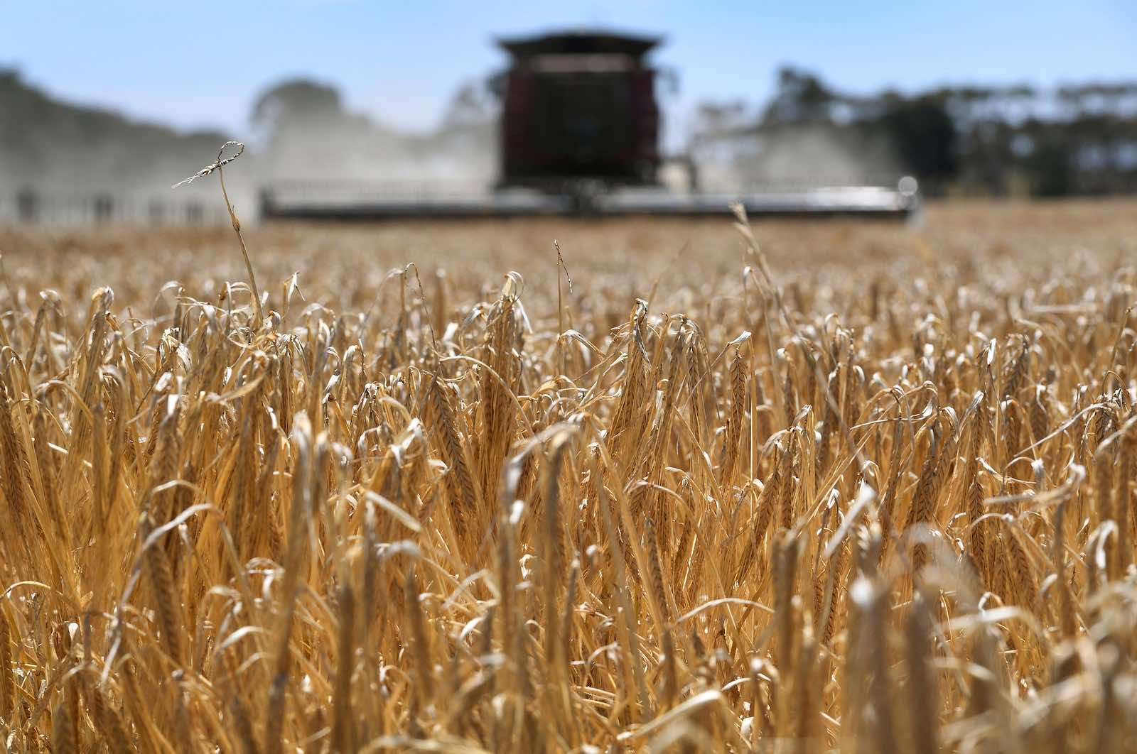 Barley is subject to one of the complaints between Australia and China at the World Trade Organisation (William West/AFP via Getty Images)