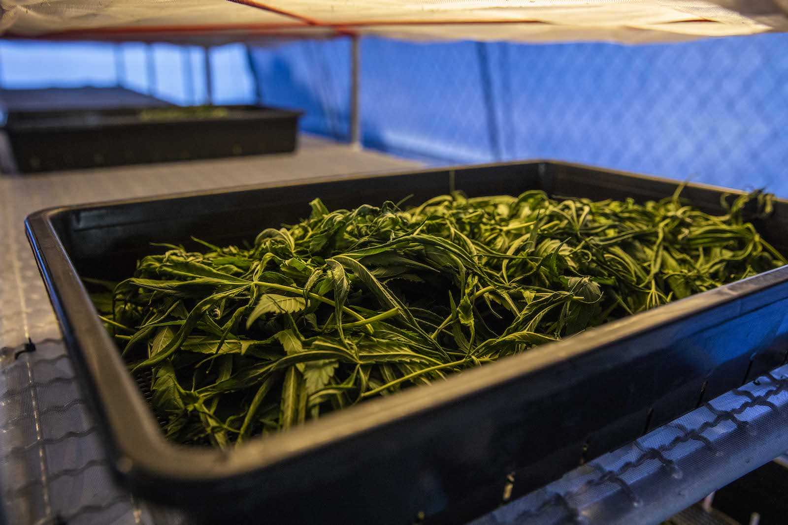 Cannabis leaves dry in a temperature controlled greenhouse in Thailand, which in 2018 became the first Southeast Asian country to legalise medical marijuana (Lauren DeCicca/Getty Images)