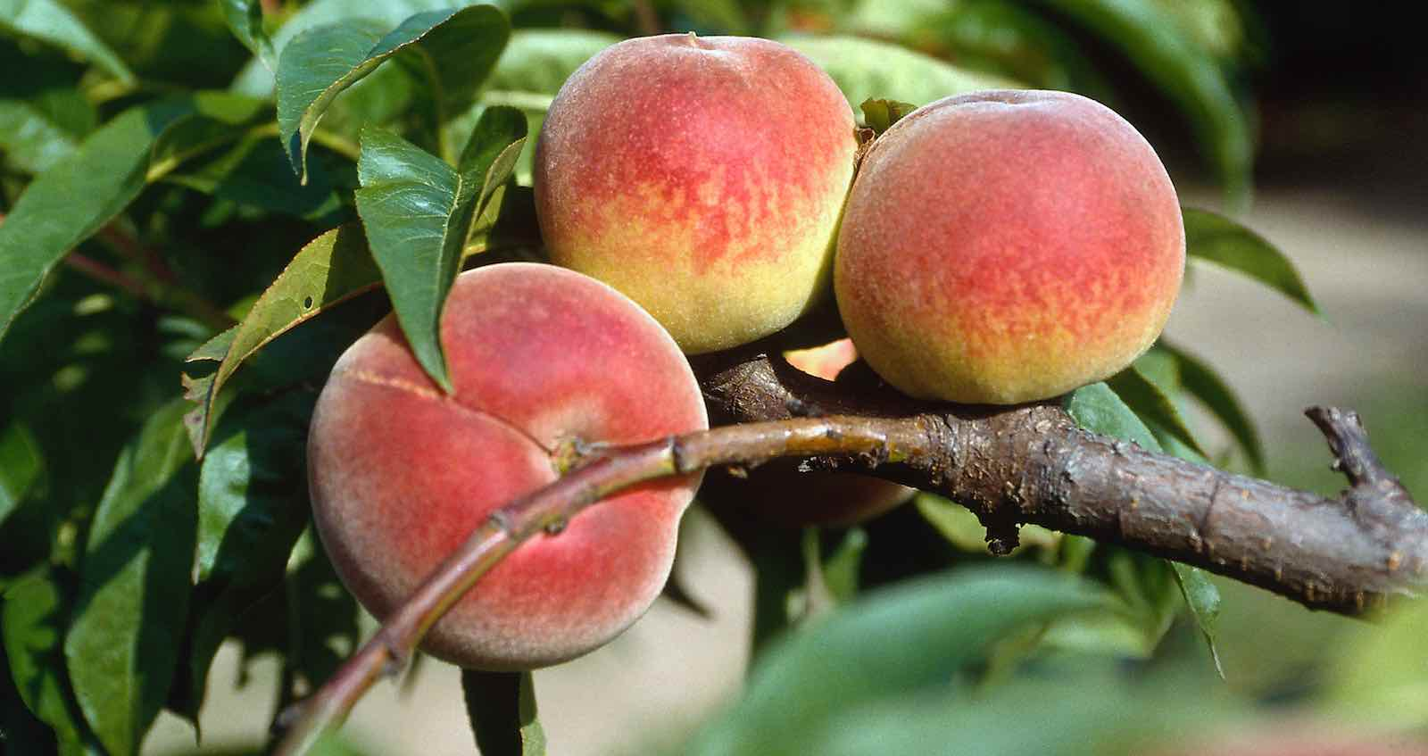 Ripe for the picking (Photo: Getty Images)