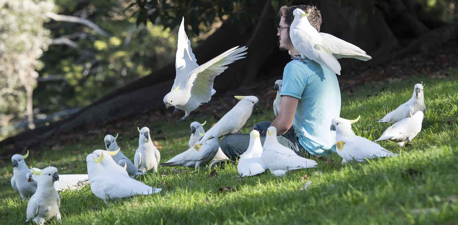 American tourist Charles Precht enjoys the company of cockatoos in the Royal Botanical Gardens, Sydney (Photo: James D. Morgan/Getty)