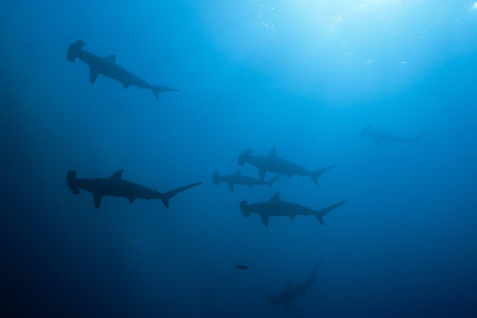 Scalloped hammerhead sharks, Sphyrna lewini, Wolf Island, Galapagos, Ecuador (Prisma Bildagentur via Getty Images)