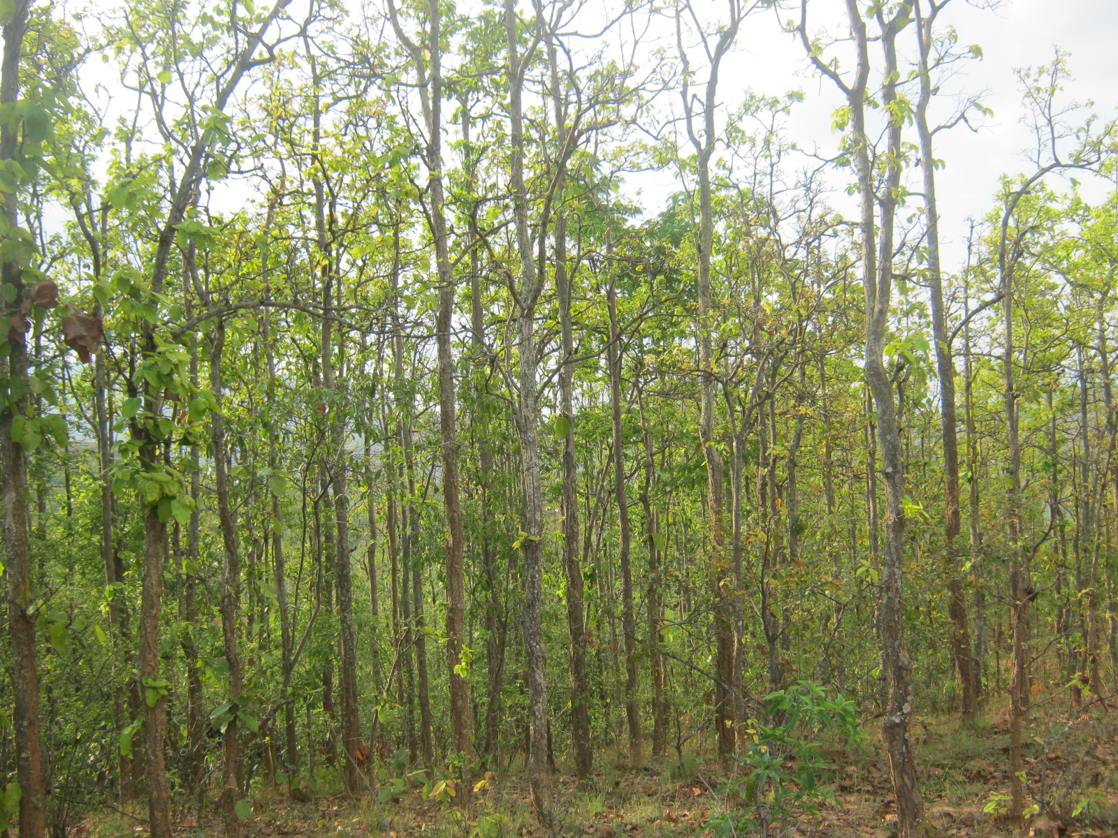 A sal tree forest in Nepal (Krish Dulal/Wikimedia Commons)