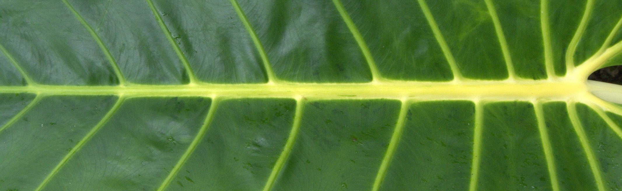 Yellow-lined taro leaf (Photo: Flickr/Jim)