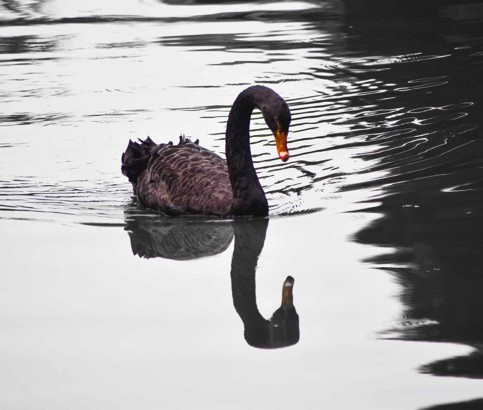 """A hard look at the state of politics in Australia might avoid our own """"black swan"""" event (Photo: Vandan Patel/unsplash)"""